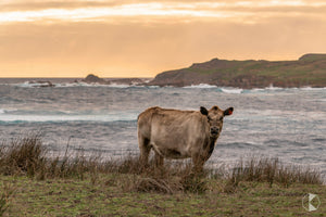 Oceanfront Cattle, King Island