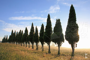 Conifer Row, Southern Highlands, NSW (AB018R)