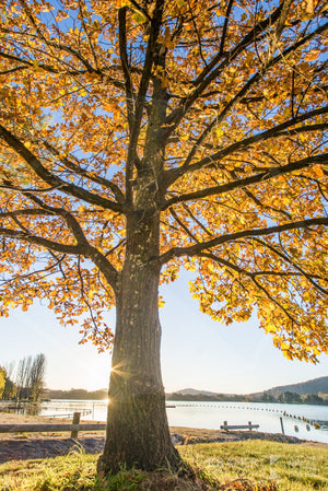 Lake Burley Griffin 'Golden Glow', ACT