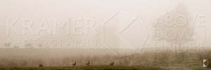 Misty Ducks and Cattle, Southern Highlands, NSW