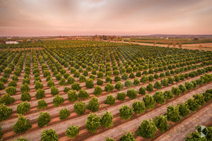 Orchards, Griffith (BJ043R)