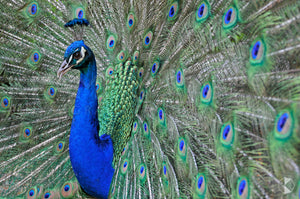 Peacock, Southern Highlands, NSW (AB013R)