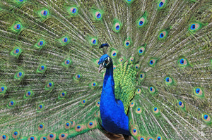 Peacock, Southern Highlands, NSW