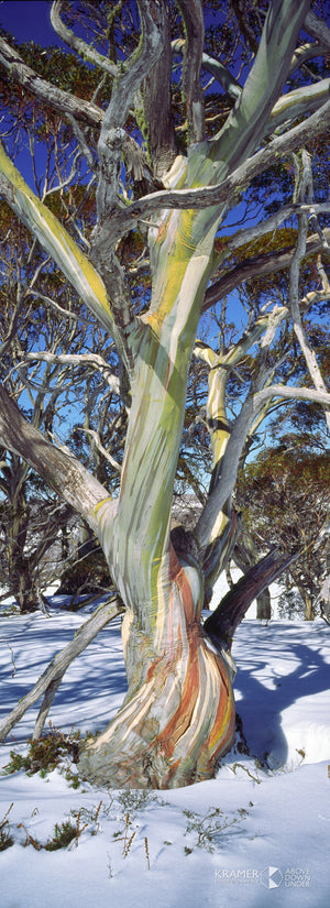 Snow Gum, Snowy Mountains  (BF012VP)