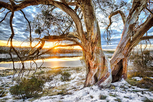 Snow Gum, Snowy Mountains (BF014R)