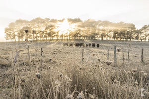 Sunrise Cattle, Southern Highlands, NSW (AB064R)
