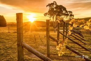 Sunset Vines & Ducks, Southern Highlands (AB099R)