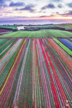 Table Cape Tulip Farm, Tasmania (CB541VR)