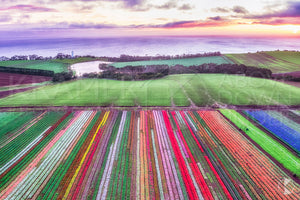 Table Cape Tulip Farm, Tasmania (CB543R)