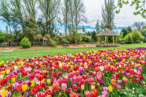 Tulip Time at Moss Vale, Southern Highlands (AB101R)