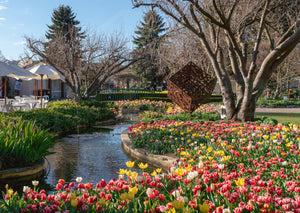 Tulip Time, Southern Highlands (AD085R)