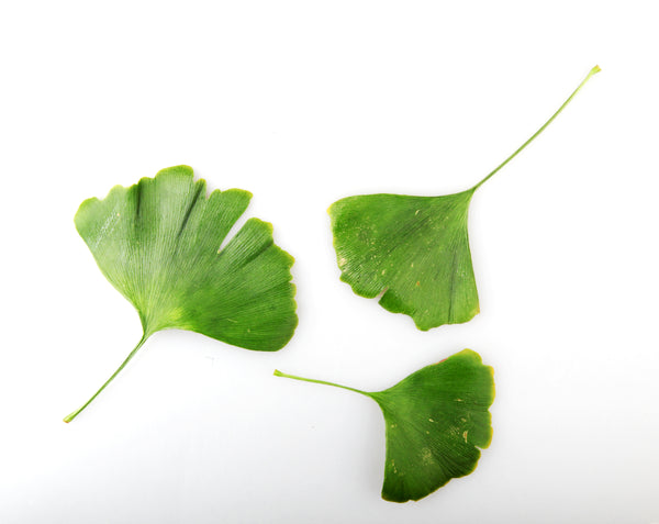 Ginkgo Biloba: An ancient medicinal herb featured in our Brain Flow Formula