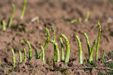 Asparagus in the ground