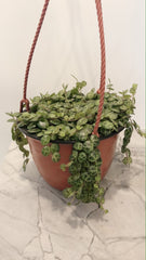 String of turtles hanging basket 6""