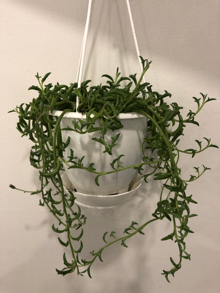 "String of Dolphins 4"" hanging basket"