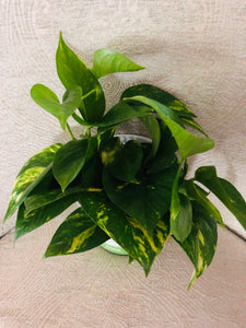 "Golden Pothos 4"" full"