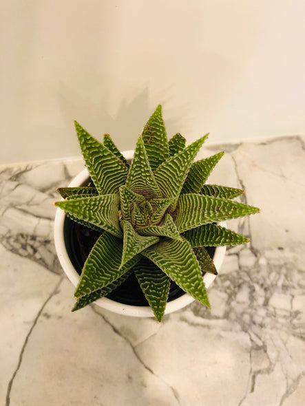 Haworthia Striata