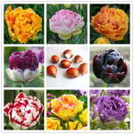 5pcs Purple and White double Tulip Bulbs Bonsai