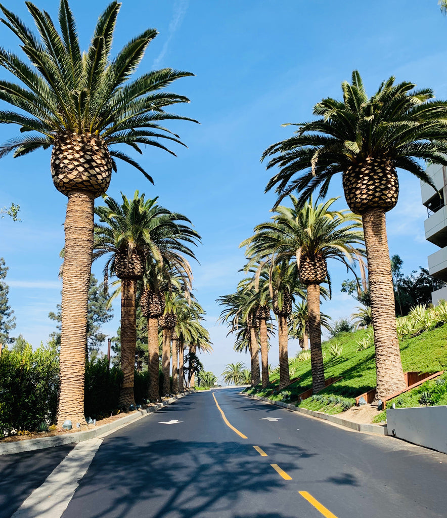 Palm Trees along a street in Los Angeles, California