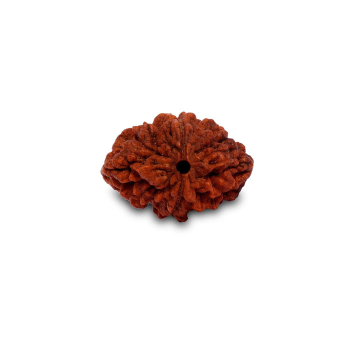 Dwimukhi Rudraksha Beads - Two Faced