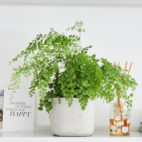 """Maidenhair Fern in White Planter, beside an oil diffuser and a card that says """"DO MORE OF WHAT MAKES YOU HAPPY"""""""