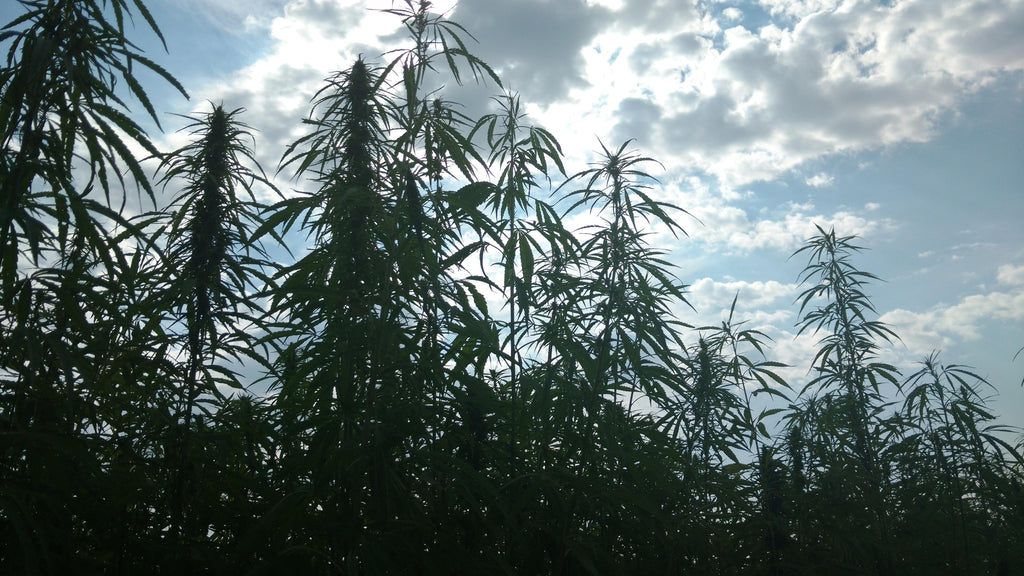 Illinois Hemp Growers Summit Comes to Chicago