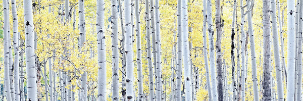 Birch Trees Frameless <h2>Frameless Nature Landscape Canvas Photography Print</h2>