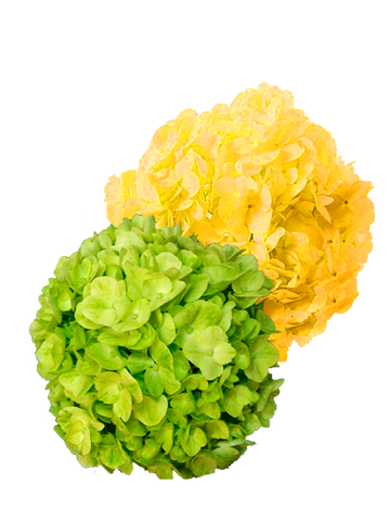 HYDRANGEAS MIX LEMON SELECT & DYED YELLOW PREMIUM - Price per stems $1.59