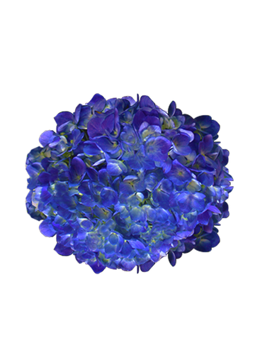 HYDRANGEAS SHOKING BLUE NATURAL - Price per stems $1.40