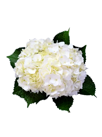 HYDRANGEAS WHITE PREMIUM - Price per stems $1.49