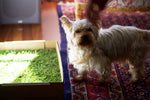 Pet photo enjoying the natural and fresh grass of PetGround, the definitive solution to teach pets to do their needs inside the house in their favorite corner.