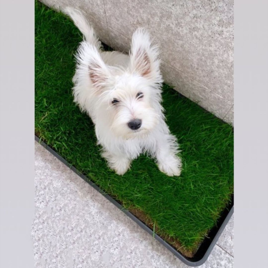 Natural grass sodger XL - Tray and natural grass pack. Ecological dog soaper