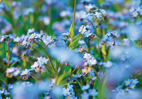 Photo Flower: Forget-me-not Flower - top quality approved by www.postcardsmarket.com specialists