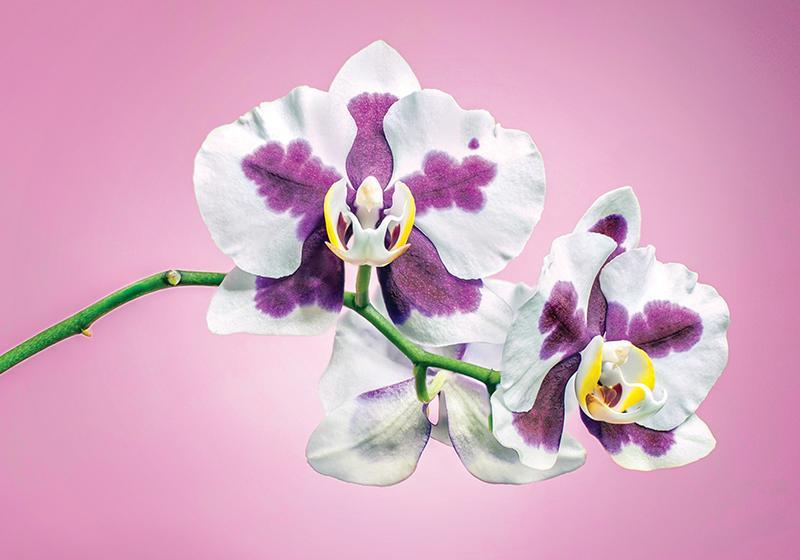 Photo Flowers - Amazing Nature - Orchid Passion 28 x 5 pcs - top quality approved by www.postcardsmarket.com specialists