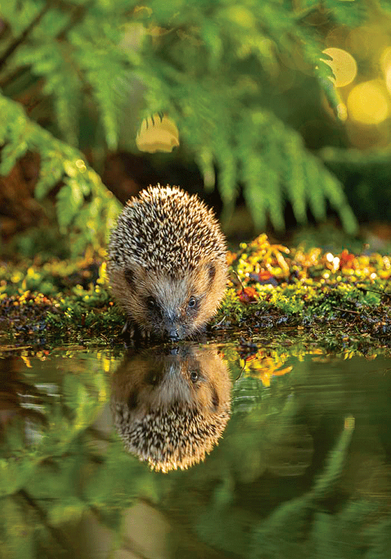Photo: Hedgehog - The secret forest (bundle x 5 pieces) - top quality approved by www.postcardsmarket.com specialists