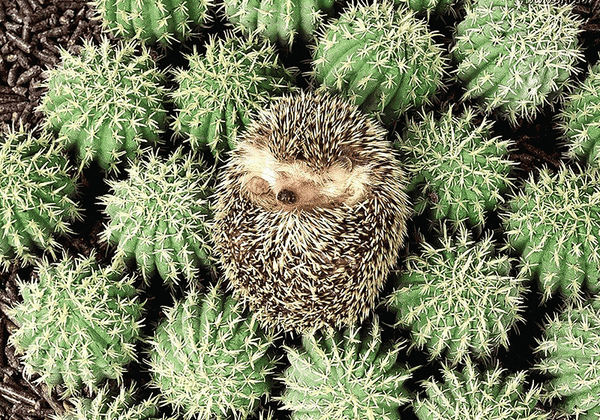 Hedgehog - Camouflage