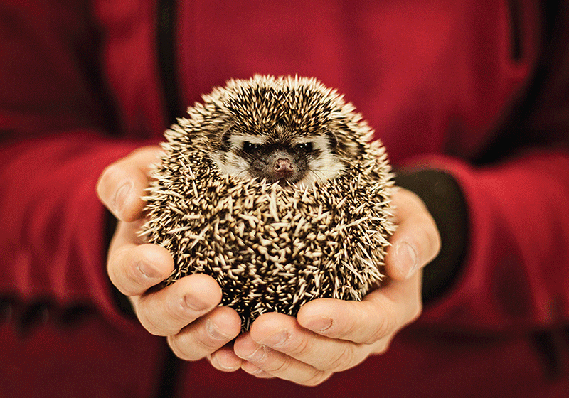 Photo: Hedgehog - Don't mess with me - Postcards Market