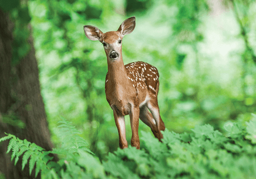 Photo: Curious deer (bundle x 5 pieces) - top quality approved by www.postcardsmarket.com specialists