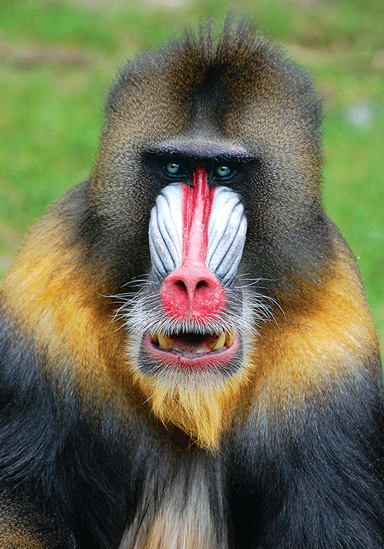 Photo: The mandrill - top quality approved by www.postcardsmarket.com specialists