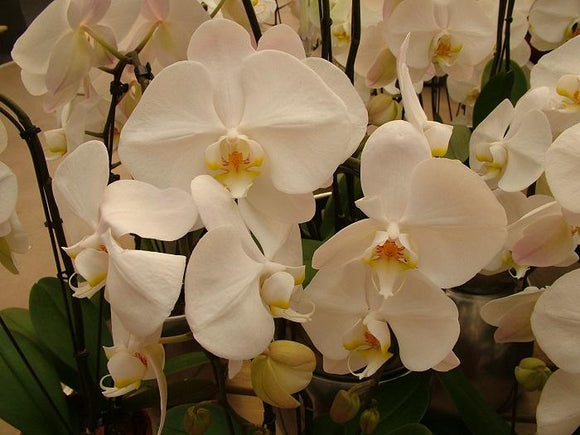 Photo Flowers - Amazing Nature - Orchid Passion 25 x 5 pcs - top quality approved by www.postcardsmarket.com specialists