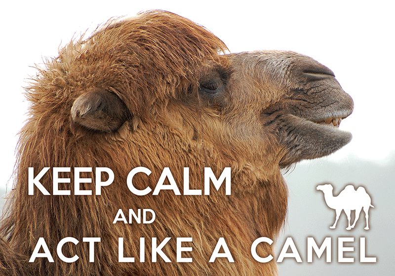 Photo: Keep calm and act like a Camel (bundle x 5 pieces) - top quality approved by www.postcardsmarket.com specialists