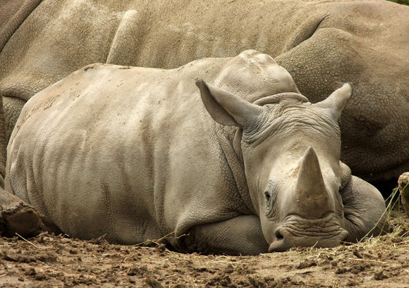 Photo: Baby Rhino - top quality approved by www.postcardsmarket.com specialists
