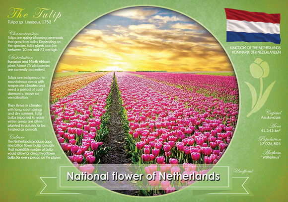 National flower of Netherlands - top quality approved by www.postcardsmarket.com specialists