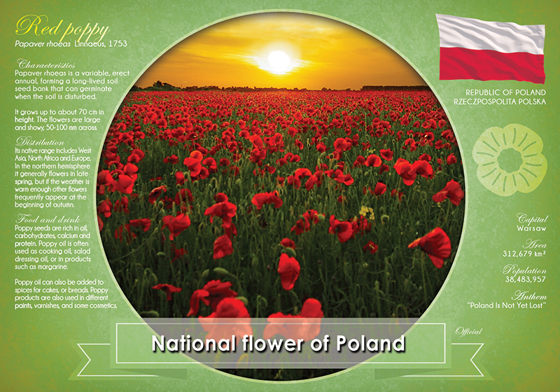 National flower of Poland - top quality approved by www.postcardsmarket.com specialists