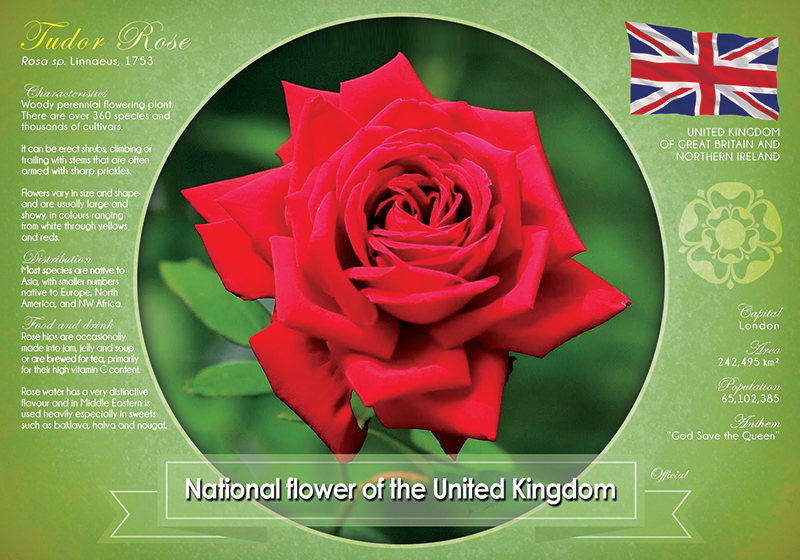 National flower of the United Kingdom - top quality approved by www.postcardsmarket.com specialists
