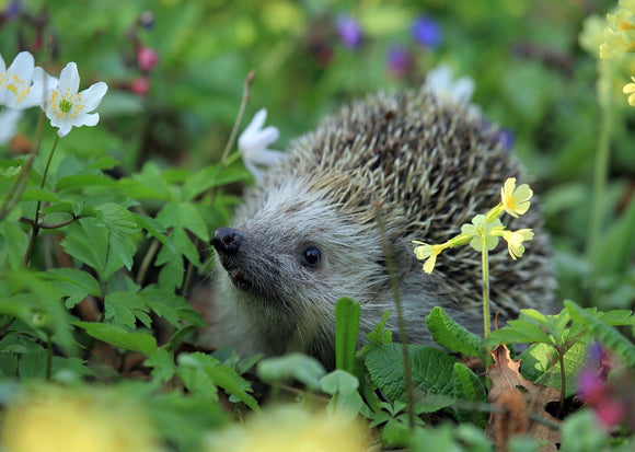 Photo: Hedgehog - Meet Anemone - top quality approved by www.postcardsmarket.com specialists
