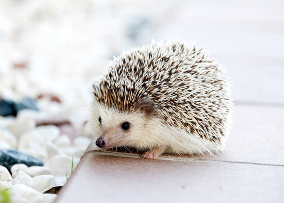 Photo: Hedgehog - White Camouflage - top quality approved by www.postcardsmarket.com specialists