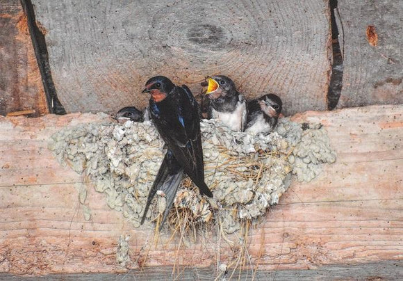 Photo: Feeding x 5 pcs (Swallow Bird) - top quality approved by www.postcardsmarket.com specialists