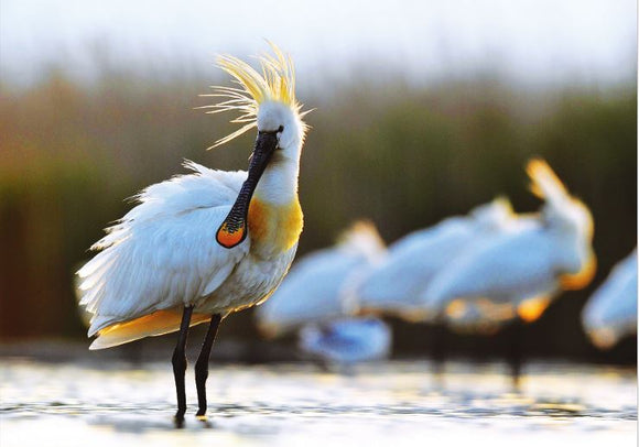 Photo Birds: The eurasian spoonbill - top quality approved by www.postcardsmarket.com specialists