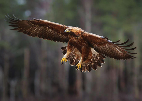 Photo Birds: The golden eagle - top quality approved by www.postcardsmarket.com specialists